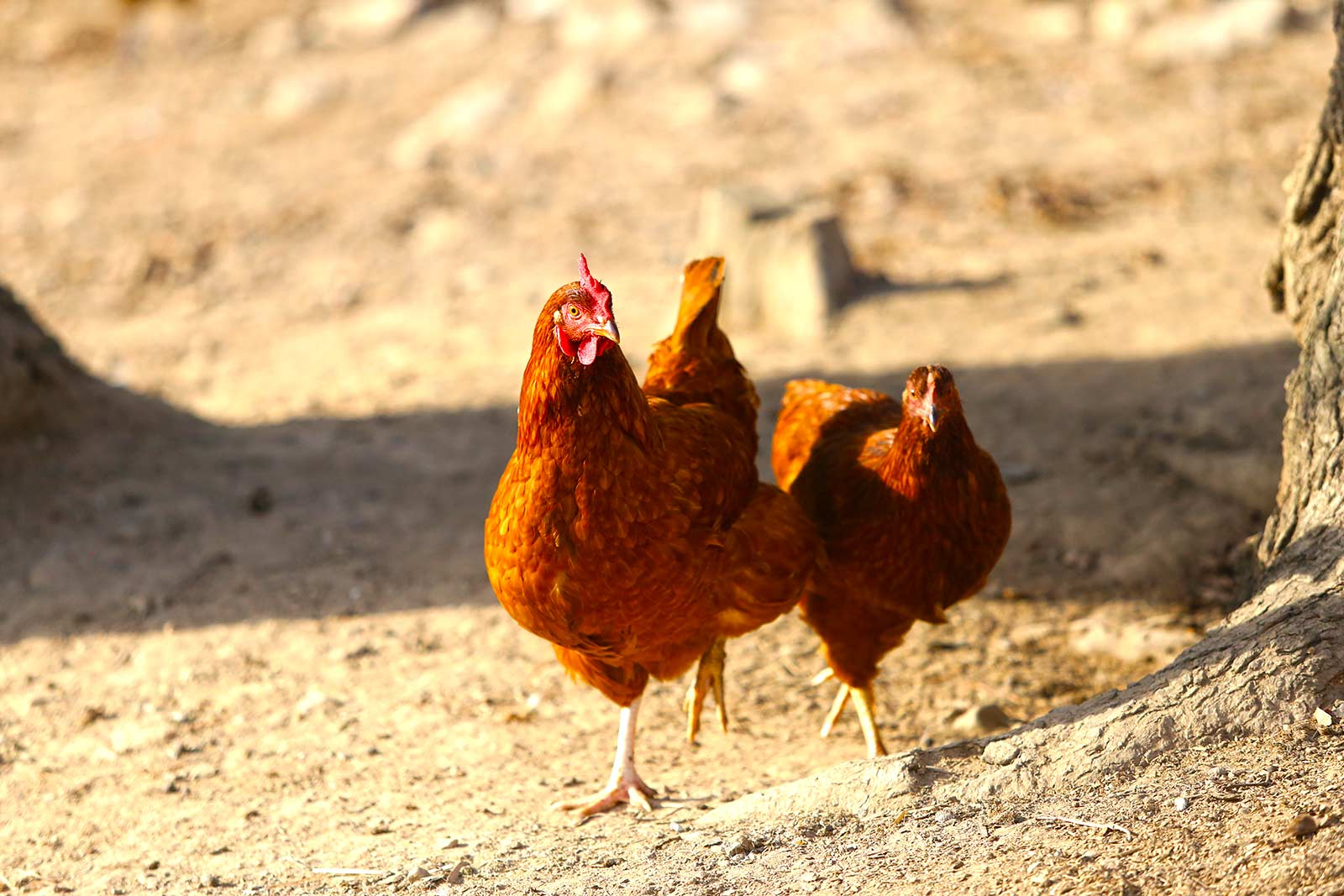 brown-chickens-pecking