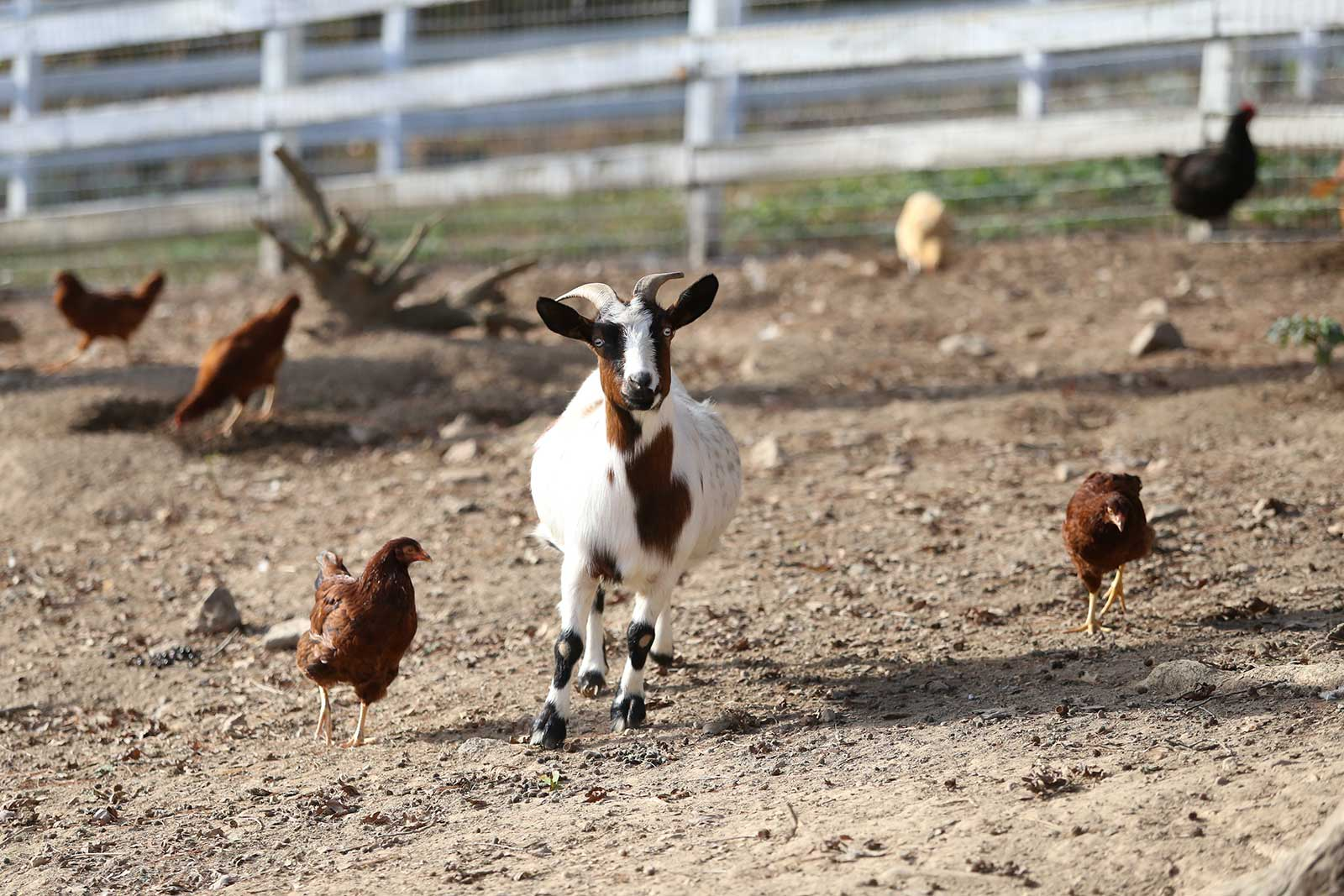 spottedgoat-chickens